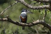 Ringed kingfisher, Megaceryle torquata — Stock Photo