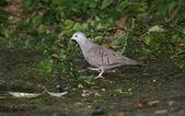 Ruddy ground-dove, Columbina talpacoti — Stock Photo