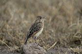 Rufous-naped lark, Mirafra africana — Stock Photo