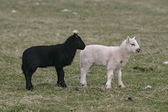 Domestic sheep — Stock Photo