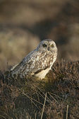Short-eared owl, Asio flammeus — Stock Photo