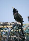 Starling, Sturnus vulgaris — Stock Photo
