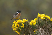 Stonechat, Saxicola torquata — Stock Photo