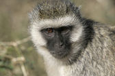 Vervet or Green monkey, Chlorocebus pygerythrus — Stock Photo
