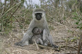 Vervet or Green monkey, Chlorocebus pygerythrus — Foto de Stock