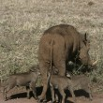 Warthog, Phacochoerus aethiopicus — Stock Photo