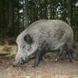 Stock Photo: Wild boar, Sus scrofa
