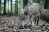 Wild boar, Sus scrofa — Stock Photo