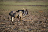 Wildebeest, Connochaetes taurinus — Stock Photo