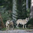 Grey wolf, Canis lupus — Stock Photo #37194453