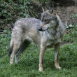 Grey wolf, Canis lupus — Stock Photo #37194457