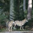 Grey wolf, Canis lupus — Stock Photo #37194469