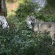 Grey wolf, Canis lupus — Stock Photo #37194483