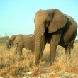 Stock Photo: Africelephant, Loxodontafricana