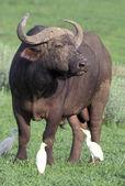 Kafferbuffel, syncerus caffer, — Stockfoto