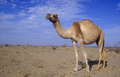Arabský nebo velbloud jednohrbý velbloud, camelus dromedarius — Stock fotografie