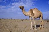 Camello árabe o dromedario, camelus dromedarius — Foto de Stock