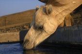 Wielbłąd arabski lub dromader, camelus dromaderka — Zdjęcie stockowe