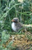 Arctic tern, Sterna paradisaea — Stock Photo