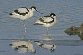 Szablodziób recurvirostra avosetta — Zdjęcie stockowe