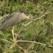 Stock Photo: Black-crowned night-heron, Nycticorax nycticorax