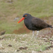 Stock Photo: Black oystercatcher, Haematopus bachmani,