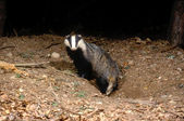 Badger, Meles meles — Stockfoto