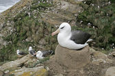Black-browed albatross, Diomedea melanophris — Stock Photo