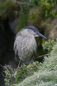Black-crowned night-heron, Nycticorax nycticorax — Stockfoto