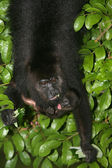 Black-howler monkey, Alouatta pigra — Stock Photo