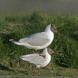 Stock Photo: Black-headed gull, Larus ridibundus