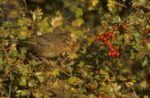 Blackbird, Turdus merula — Stock Photo