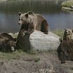 European brown bear, Ursus arctos — Stock Photo