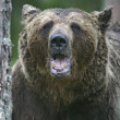 Stock Photo: Europebrown bear, Ursus arctos arctos