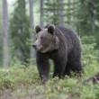 Foto Stock: Europebrown bear, Ursus arctos arctos