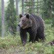 Europebrown bear, Ursus arctos arctos — Stock Photo #37368213
