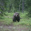 Europebrown bear, Ursus arctos arctos — Stock Photo #37368233