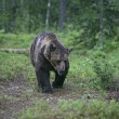European brown bear, Ursus arctos arctos — Stock Photo #37368245