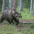 Europebrown bear, Ursus arctos arctos — Stock Photo #37368255