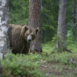 European brown bear, Ursus arctos arctos — Stock Photo