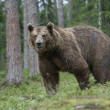 European brown bear, Ursus arctos arctos — Stock Photo #37368321