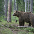 Europebrown bear, Ursus arctos arctos — Stock Photo #37368349