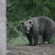 Europebrown bear, Ursus arctos arctos — Stock Photo #37368433
