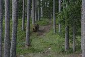 European brown bear, Ursus arctos arctos — Stock Photo