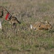 Stock Photo: Brown hare, Lepus europaeus
