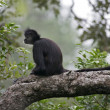 Central American Spider Monkey or Geoffroys spider monkey, Atele — ストック写真