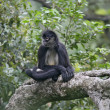 Stock Photo: Central American Spider Monkey or Geoffroys spider monkey, Atele