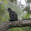 Central American Spider Monkey or Geoffroys spider monkey, Atele — Stok Fotoğraf #37399319
