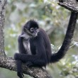 Central American Spider Monkey or Geoffroys spider monkey, Atele — Zdjęcie stockowe