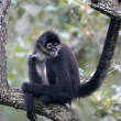 Central American Spider Monkey or Geoffroys spider monkey, Atele — Stok fotoğraf